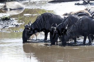 small group of White bearded Wildebeest drunk water in a small river in the dry season
