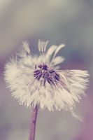 close up of Dandelion on background green grass