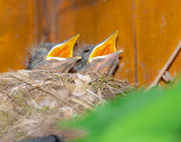 Baby blackbirds in the nest