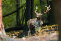 Fallow deer stag roaring in its territory in the forest in rutting season.