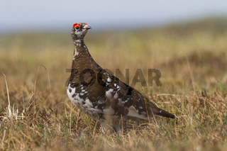 The male Rock ptarmigan standing in the floodplain of the river turned his head in the summer afternoon