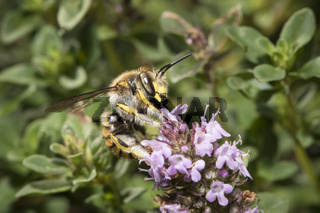 Wollbiene, Anthidium manicatum, European wool carder bee