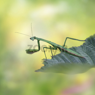 Female European Mantis or Praying Mantis on leaf