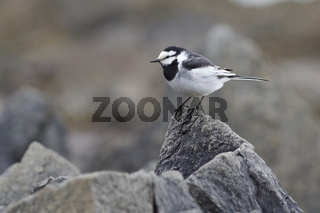 Male WHITE WAGTAIL sitting on a small rock on the seashore in the spring