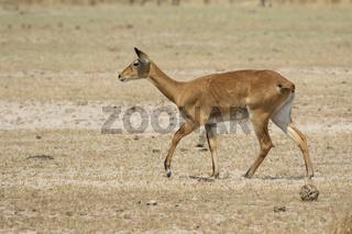female WATERBUCK walking along the sandy savannah along the shore of the lake in the dry season