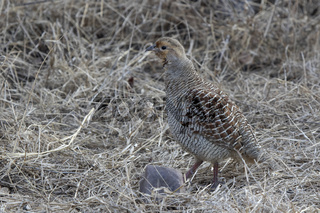 Grey Francolin that stands among dry grass at the edge of the forest on a winter evening