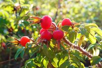 red oval rosehip, rosehip medicinal berry