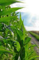 Green Corn Field summer sunny day in Uklraine
