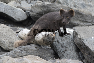 Breast-feeding female of the Commanders blue arctic fox jn the Copper island which stands from the coastal rocks near its lair