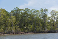 Mangrove forest on the shores of the Bahia de los Muertos at the mouth of the Rio Platanal Panama