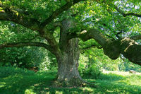 oak; oak tree; natural monument; Germany; Sulzeiche;