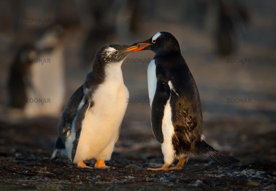 Gentoo penguin, Pygoscelis papua, South Georgia