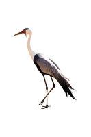 stork portrait isolated on white background