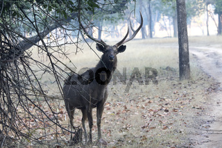 large male sambar deer who stands under the shadow of a tree near the road