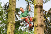 Dutch tree expert climbs between two fir trees with rope