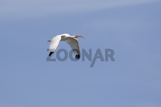 American white ibis that flies over mangroves on a bright sunny day