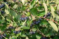Branch filled with aronia berries.