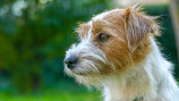 Cute Jack Russell Terrier close up face Outdoors.