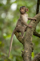 Baby long-tailed macaque in branches looking down