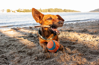 Small mixed breed dog playing at the river beach in the sand with his toys. Dog, summer lifestyle and vacation concept.