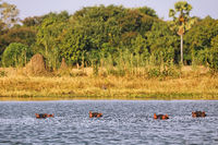 Hippos in Shire river, Liwonde National Park, Malawi, (Hippopotamus amphibius)
