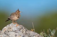 Crested lark Algarve Portugal