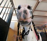 Close up muzzle of white horse