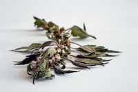 Motherwort - a medicinal plant with a calming effect