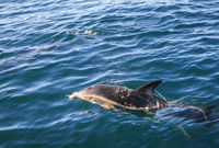dolphin in Kaikoura bay, New Zealand