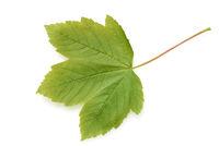 Ahornblatt, Ahorn, Acer