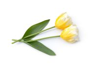 Two tulips lie on white background