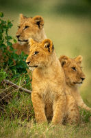 Lion cub sits by bush with siblings