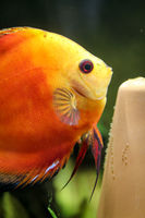 Discus fish in the aquarium. Discus are fish from the genus Symphysodon.