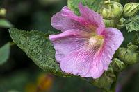 Gewoehnliche Stockrosenbluete (Alcea)