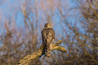 Eurasian sparrow Hawk (Accipiter nisus), Germany