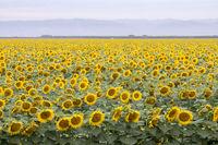 YH0A0923_SunflowerFieldDixon.jpg