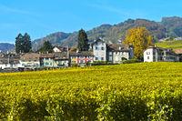 Weinberge der Gemeinde Mont-sur-Rolle in Herbstfarben
