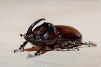 rhinoceros beetle Madagascar wildlife