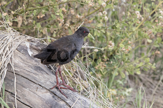 Black crake which stands on a dry log on the shore of Lake Victoria