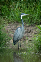Black-headed heron stands in shallows facing right