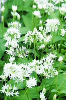 Bärlauch, Allium ursinum, Blätter und Blüten, bildfüllend, Hochformat