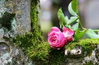 Grave, rose, church-yard, copy space