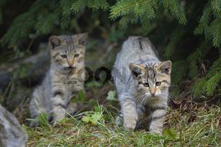 Wildcat