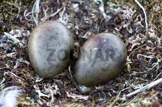 Arctic skua nest with two dark olive speckled eggs