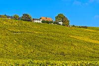 Weinberg in Herbstfärbung am Weingut Domaine de Fischer im Weinbaugebiet La Côte