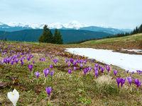 Purple Crocus flowers on spring mountain