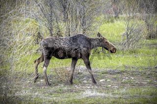 Female moose walking in field.