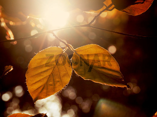 Autumn foliage in the morning backlight