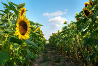 A field with decorative sunflower with orange flowers. Lower Saxony, Germany