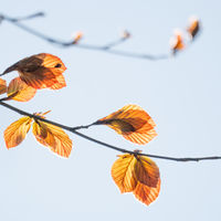 branches with red beech-leaves in spring